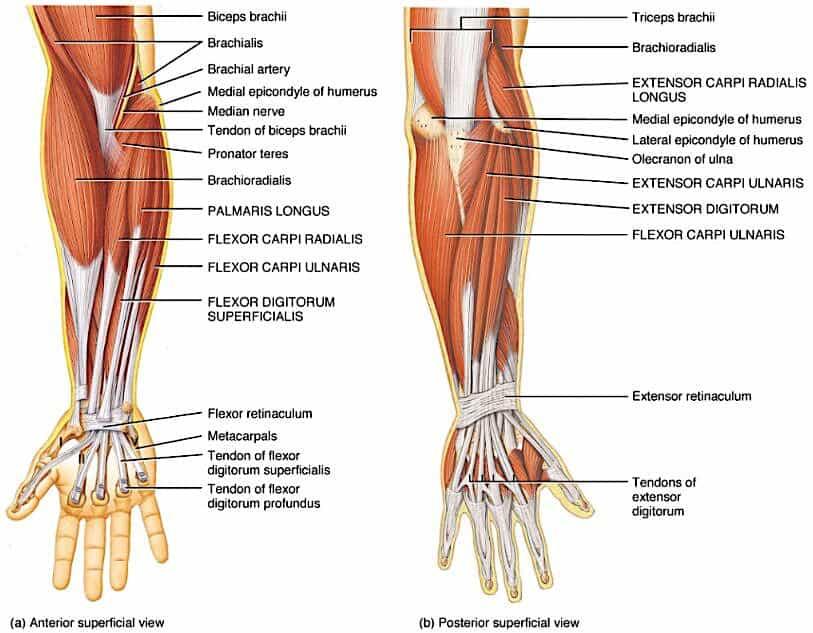 forearm wrist elbow